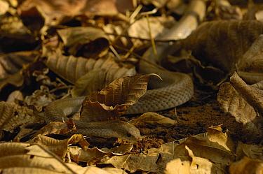 Hog-nosed Snake (Leioheterodon modestus) camouflaged amid leaf litter, Ankarafantsika Special Reserve, Madagascar  -  Pete Oxford