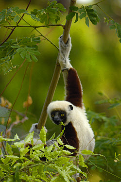 Coquerel's Sifaka (Propithecus coquereli) feeding on fruit of Dicot (Sorindeia madagascariensis) endemic tree, Ankarafantsika Strict Nature Reserve, western deciduous forest, Madagascar  -  Pete Oxford