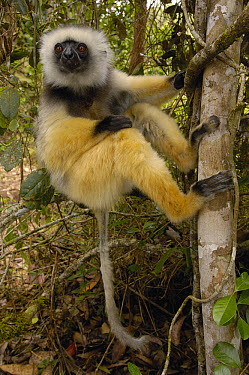 Diademed Sifaka (Propithecus diadema), Mantadia National Park, Madagascar  -  Pete Oxford