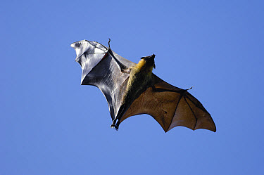 Madagascar Flying Fox (Pteropus rufus) flying, Berenty Private Reserve, Madagascar  -  Pete Oxford