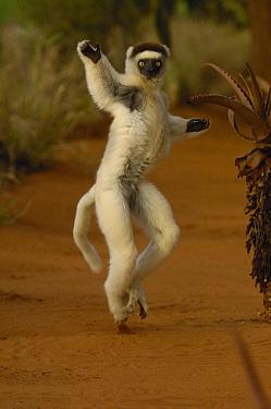 Verreaux's Sifaka (Propithecus verreauxi) hopping across open ground, vulnerable, Berenty Reserve, southern Madagascar  -  Pete Oxford