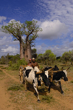 Domestic Cattle (Bos taurus), Zebu breed, pulling traditional oxcart with Baobab (Adansonia sp) tree behind, Antandroy couple wearing hats typical of the region, Spiny Forest area of southern Madagasc...  -  Pete Oxford