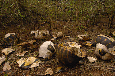 Radiated Tortoise (Geochelone radiata) midden of carapaces, vulnerable, Madagascar  -  Pete Oxford