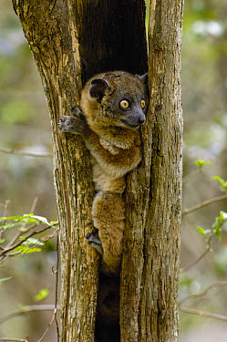 Red-tailed Sportive Lemur (Lepilemur ruficaudatus) in tree cavity, Zombitse Reserve, Madagascar  -  Pete Oxford