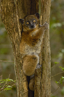 Red-tailed Sportive Lemur (Lepilemur ruficaudatus) in tree trunk, Zombitse Reserve, Madagascar  -  Pete Oxford