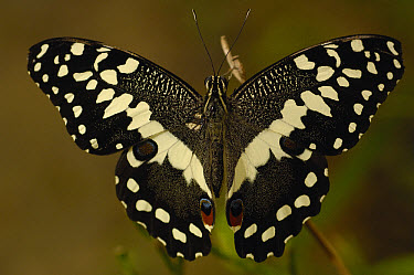 Citrus Butterfly (Papilio demodocus) butterfly, found throughout the island, Madagascar  -  Pete Oxford