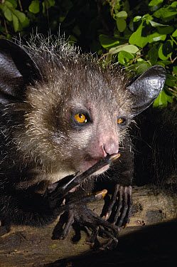 Aye-aye (Daubentonia madagascariensis) one of the more bizarre mammals in the world, their peculiar features include huge ears, bushy tail, long shaggy coast, rodent-like teeth and a skeletal 'probe-l...  -  Pete Oxford