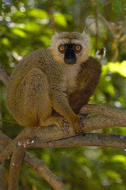 Sanford's Brown Lemur (Eulemur fulvus sanfordi) male portrait, Ankarana Special Reserve, northern Madagascar  -  Pete Oxford