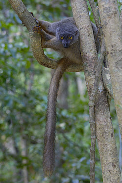 Sanford's Brown Lemur (Eulemur fulvus sanfordi) female portrait, Ankarana Special Reserve, northern Madagascar  -  Pete Oxford