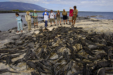 Marine Iguana (Amblyrhynchus cristatus) with tourists, vulnerable, Fernandina Island, Galapagos Islands, Ecuador  -  Pete Oxford