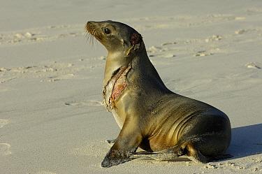 Galapagos Sea Lion (Zalophus wollebaeki) with serious wound probably from a shark, vulnerable, Gardner Bay, Espanola Island, Galapagos Islands, Ecuador  -  Pete Oxford