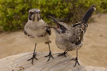 Hood Mockingbird (Nesomimus macdonaldi) pair arguing, vulnerable, Espanola Island, Galapagos Islands, Ecuador  -  Pete Oxford