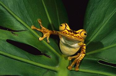 Chachi Tree Frog (Hyla picturata), Cotacachi-Cayapas Reserve, Ecuador  -  Pete Oxford