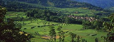 Rice (Oryza sativa) terraced fields, China  -  Pete Oxford