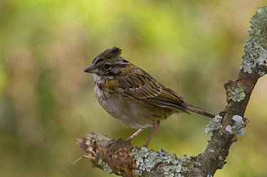 Rufous-collared Sparrow (Zonotrichia capensis) juvenile, Andes, Ecuador  -  Pete Oxford