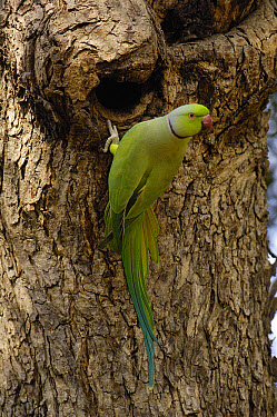 Rose-ringed Parakeet (Psittacula krameri) at nest entrance, Ranthambhore National Park, Rajasthan, India  -  Pete Oxford