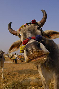 Domestic Cattle (Bos taurus) in cattle section at Pushkar camel and livestock fair, India  -  Pete Oxford