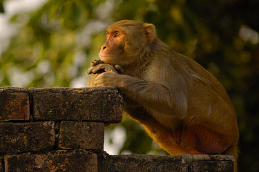 Rhesus Macaque (Macaca mulatta) resting on brick wall in the town of Bharatpur, Rajasthan, India  -  Pete Oxford