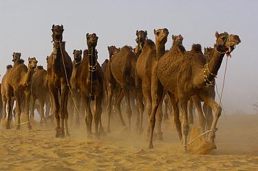 Dromedary (Camelus dromedarius) camels at Pushkar camel and livestock fair, Pushkar, Rajasthan, India  -  Pete Oxford