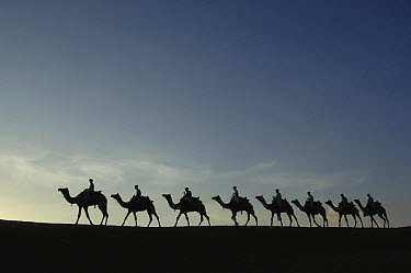 Dromedary (Camelus dromedaries) group, domesticated animals with pasturalists in the Thar desert, Rajasthan, India  -  Pete Oxford