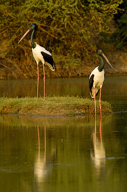 Black-necked Stork (Ephippiorhynchus asiaticus) male with brown eye and female with yellow eye, Bharatpur National Park, Rajasthan, India  -  Pete Oxford
