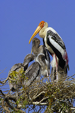 Painted Stork (Mycteria leucocephala) on nest with chicks in a village near the salt pans of Rann of Kutch, Gujarat, India  -  Pete Oxford