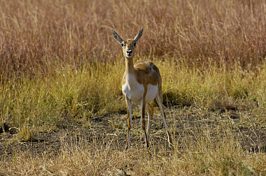 Blackbuck (Antilope cervicapra) male, Velavadar National Park, Gujarat, India  -  Pete Oxford