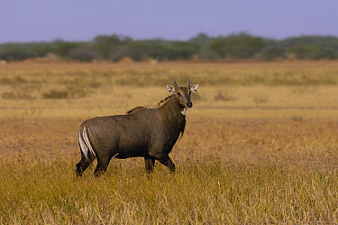Nilgai (Boselaphus tragocamelus) male, Velavadar National Park, Gujarat, India  -  Pete Oxford