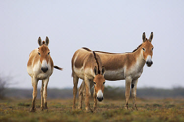 Indian Wild Ass (Equus hemionus khur) trio, Rann of Kutch, Gujarat, India  -  Pete Oxford