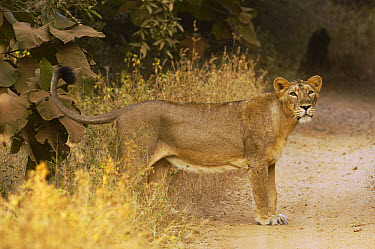 Asiatic Lion (Panthera leo persica) lioness at edge of dirt road, Gir National Park, Gujarat, India  -  Pete Oxford