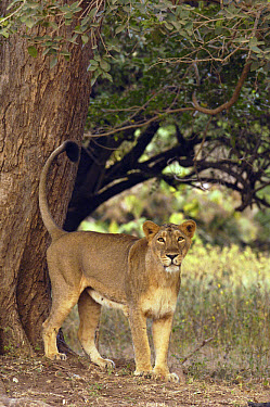 Asiatic Lion (Panthera leo persica) lioness marking territory, Gir National Park, Gujarat, India  -  Pete Oxford