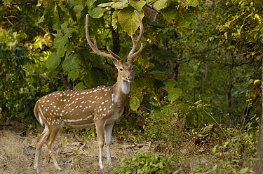 Axis Deer (Cervus axis) male with antlers in velvet, Gir Forest National Park, Gujarat, India  -  Pete Oxford