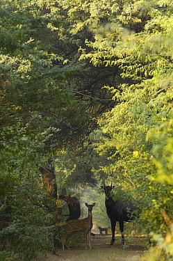 Axis Deer (Cervus axis), Nilgai (Boselaphus tragocamelus) and Rhesus Macaque (Macaca mulatta) on dirt road in Gir Forest National Park, Gujarat, India  -  Pete Oxford