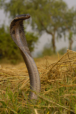 Spectacled Cobra (Naja naja) with hood flared in defense posture, Gujarat, India  -  Pete Oxford