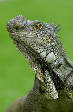 Green Iguana (Iguana iguana) with large growth on it's nose, Seminario Park, Guayaquil, Ecuador  -  Pete Oxford