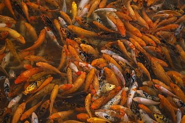 Koi is favorite ornamental fish, China  -  Pete Oxford