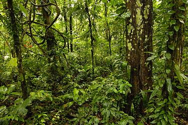 Tropical rainforest understory, Yasuni National Park declarned a UNESCO Biosphere Reserve in 1989, Amazon rainforest, Ecuador  -  Pete Oxford