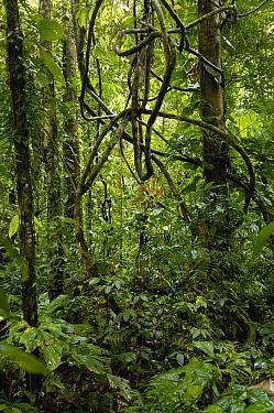 Vines in tropical rainforest understory, Yasuni National Park declarned a UNESCO Biosphere Reserve in 1989, Amazon rainforest, Ecuador  -  Pete Oxford