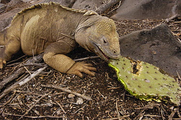 Santa Fe Land Iguana (Conolophus pallidus) eating Optunia cactus, Santa Fe Island, Galapagos Islands, Ecuador  -  Pete Oxford