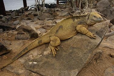 Santa Fe Land Iguana (Conolophus pallidus), Galapagos Islands, Ecuador  -  Pete Oxford
