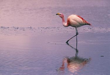 Puna Flamingo (Phoenicopterus jamesi), Laguna Colorada in the Altiplano of Bolivia  -  Pete Oxford