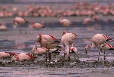 Puna Flamingo (Phoenicopterus jamesi) nesting Laguna Colorada in the Altiplano of Bolivia  -  Pete Oxford