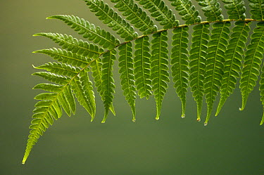 Fern frond with drip tips, Mindo Cloud Forest, Ecuador  -  Pete Oxford