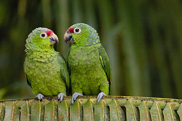 Red-lored Parrot (Amazona autumnalis) pair sitting on branch, Ecuador  -  Pete Oxford
