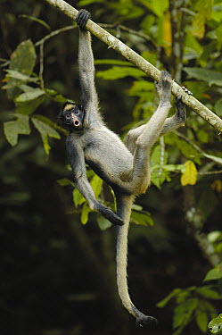 White-bellied Spider Monkey (Ateles belzebuth) calling while hanging from tree, vulnerable species, Amazon Rainforest, Ecuador  -  Pete Oxford