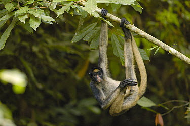 White-bellied Spider Monkey (Ateles belzebuth) hanging from tree, vulnerable species, Amazon Rainforest, Ecuador  -  Pete Oxford