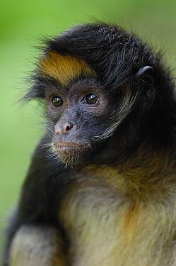 White-bellied Spider Monkey (Ateles belzebuth) portrait, vulnerable species, Amazon Rainforest, Ecuador  -  Pete Oxford