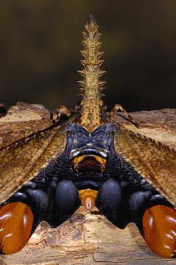 Saw-nosed Planthopper (Cathedra serrata), Amazon Rainforest, Ecuador  -  Pete Oxford