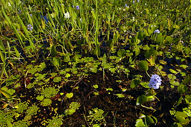 Wetland plants and water hyacinth, in freshwater lagoon, Pantanal, Brazil  -  Pete Oxford