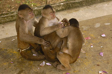 White-fronted Capuchin (Cebus albifrons) trio rubbing vegetable skins, that they received from people, all over their bodies, Puerto Misahualli, Amazon Rainforest, Ecuador  -  Pete Oxford